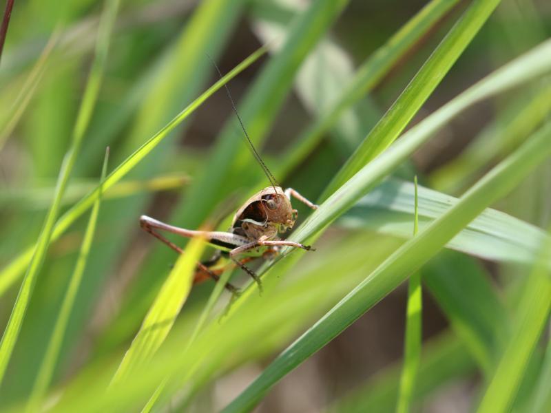 Female Bog Bush Cricket (c) Andrew Hankinson